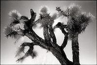 Top of Joshua Tree<br />