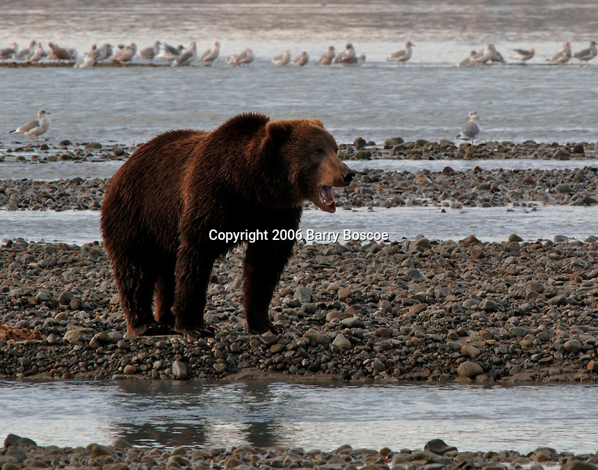Grizzly Bear Fishing for Salmon in the Katmai National Park located on the Alaska Peninsula, across from Kodiak Island Alaska, USA.