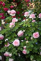 Pink flowering Meilland rose; 'Pierre De Ronsard' aka 'Eden' on fence in California country garden