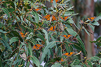Western Monarch Butterflies (Danaus plexippus) trying to catch a little warmth on a cool February day.  CA..  Usually within the next few days or weeks they will start to migrate away from their wintering areas.  There are at least four mating pairs in this image.