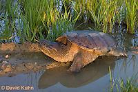0611-0918  Snapping Turtle Exploring Pond Edge, Chelydra serpentina  © David Kuhn/Dwight Kuhn Photography