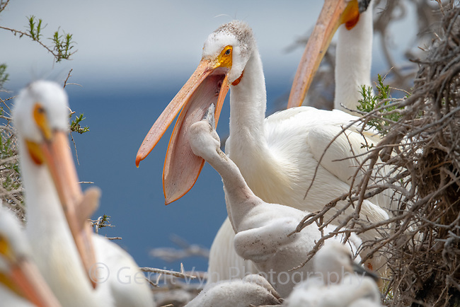 American White Pelican (Pelecanus erythrorhynchos) feeding chick in nesting colony. Lake County, Oregon. April.