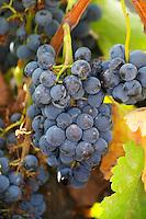 Bunches of ripe grapes. Priorato, Catalonia, Spain