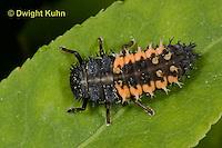 1C02-515z  Asian Ladybug Larva, Harmonia axyridis