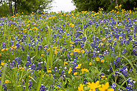 Bluebonnets, lupine, Lupinus texensis, in texas wildflower meadow, Our Lady of the Rosary Cemetary