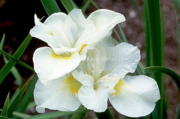 Iris sibirica 'Kathleen Mary' in white spring flowers