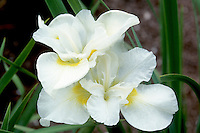 Iris sibirica 'Kathleen Mary' in white spring flowers