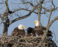 Eaglet turns its head as it listens to the adult eagle vocalize.