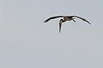 Brown Pelican (Pelecanus occidentalis) juvenile foraging, Elkhorn Slough, Monterey Bay, California