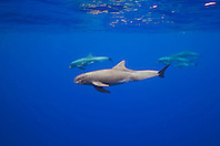 pygmy killer whales, Feresa attenuata, Kona Coast, Big Island, Hawaii, Pacific Ocean