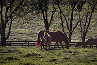 Thoroughbred mares and foals at famed Calumet farm.