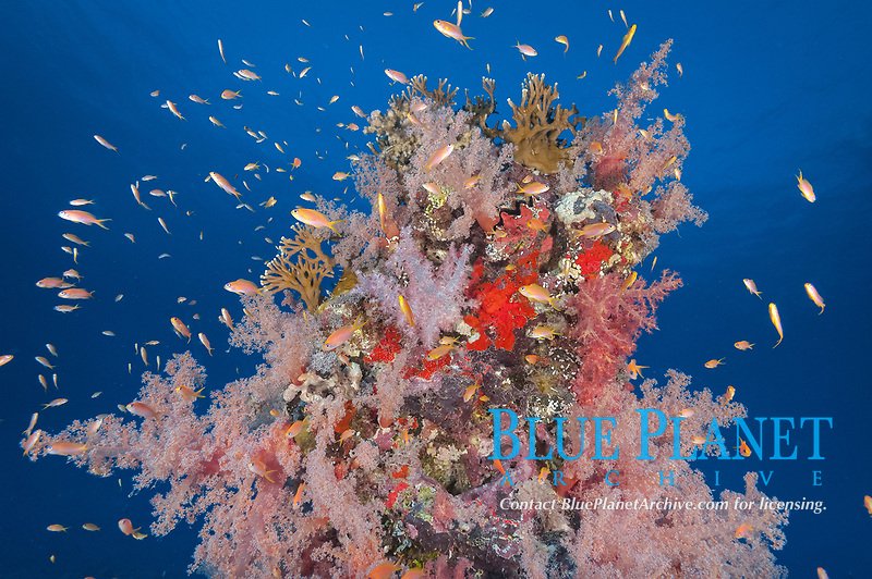 coral reef scene with soft coral, Dendronephthya sp., sea fans, gorgonians, sponges, and schooling sea goldie anthias, Pseudanthias squamipinnis, Port Sudan, Sudan, Red Sea, Indian Ocean
