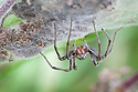 Nursery Web Spider {Pisaura mirabilis} female guarding babies in silk tent, built amongst plant stems in meadow. Peak DIstrict National Park, Derbyshire, UK. September.
