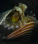 Amphioctopus marginatus,Coconut octopus in a shell