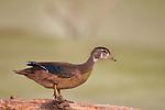 wood duck juvenile