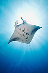 A Manta Ray with sunburst, Manta birostris, Goofnuw Channel, Valley of the Rays, Yap, Micronesia, Pacific Ocean