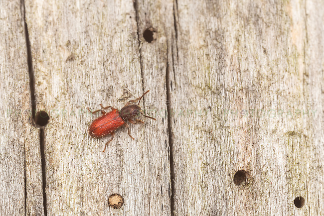 A Checkered Beetle (Zenodosus sanguineus) explores the surface of a dead tree for woodboring insects.