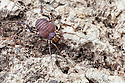 Harvestman {Metagyndes innata} captive, originating from Chile. website
