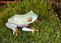 0306-0915  Red-eyed Tree Froglet (Young Frog), Agalychnis callidryas  © David Kuhn/Dwight Kuhn Photography.