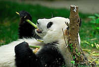 Giant Panda feeding on bamboo shoot at Chengdu Research Base of Giant Panda Breeding, Sichuan, China.