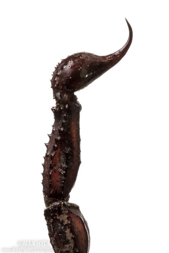 Sting of Giant Forest Scorpion (Heterometrus sp.). Museum specimen, originating from Southeast Asia. website