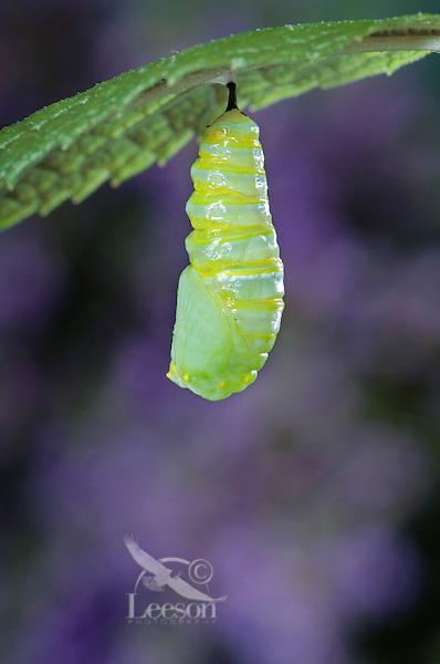 MONARCH BUTTERFLY life cycle..Pupation on Joe-Pye Weed leaf..North America. (Danaus plexippus)