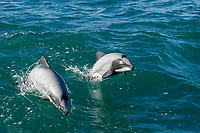 Hector's dolphin, Cephalorhynchus hectori, jumping or porpoising out of the water, Akaroa, Banks Peninsula, South Island, New Zealand (South Pacific Ocean)