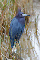 Little blue heron adult on cold and windy day