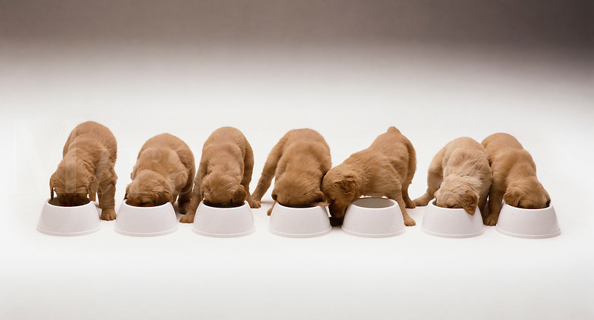 Puppies eating in a row.