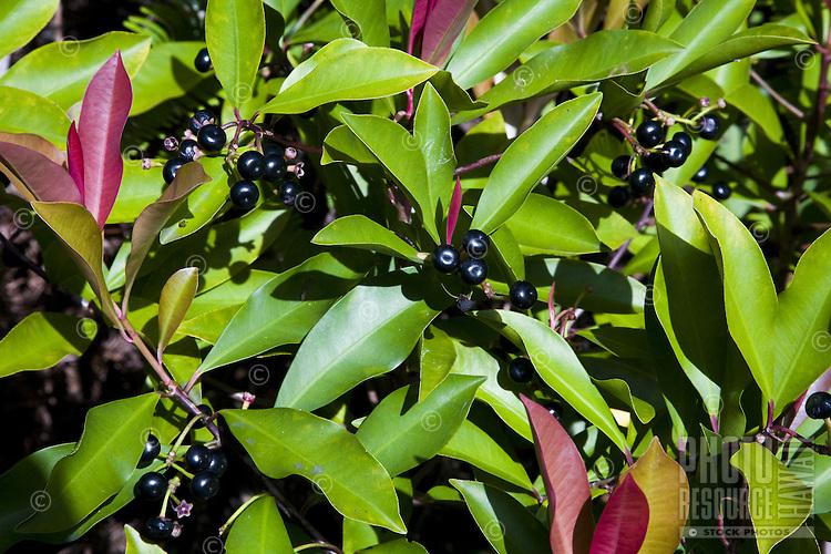 Tropical Hawaiian popolo berry