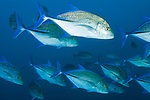 Cocos Island, Costa Rica; a school of Bluefin Trevally (Caranx melampygus) fish swimming in the blue water of the open ocean