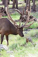 Bull elk in velvet near Bear Lake, Rocky Mountain National Park