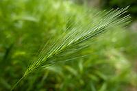 Green wheat in field, Drôme, France.