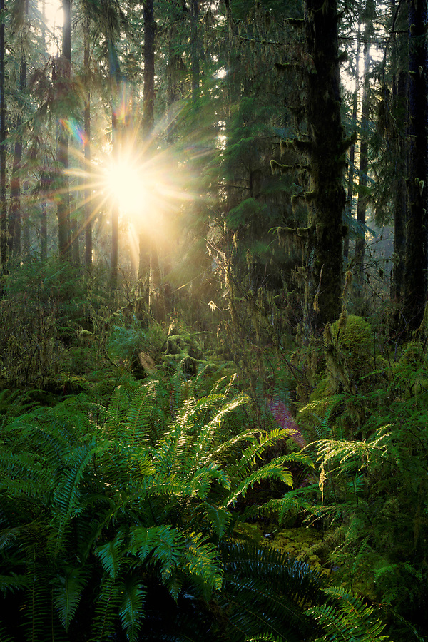 Sunlight streaming through temperate old-growth forest and ferns, Queets rainforest, Olympic National Park, Jefferson County, Washington, USA