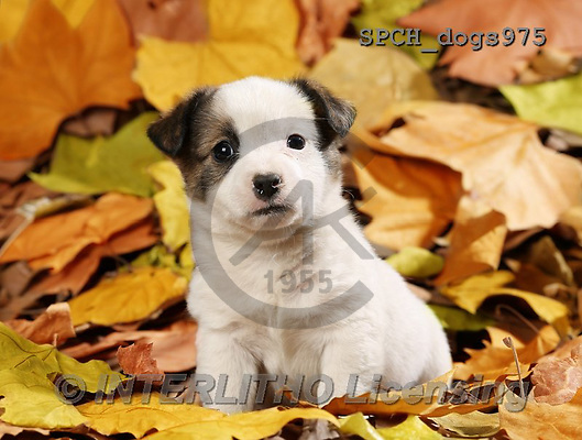 Xavier, ANIMALS, REALISTISCHE TIERE, ANIMALES REALISTICOS, dogs, photos+++++,SPCHDOGS975,#A#