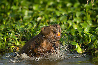 Beaver shaking off water in southern swamp.
