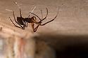 European Cave Spider (Meta menardi) on ceiling of cellar. Worcestershire, UK. April.