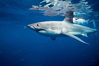 great white shark, Carcharodon carcharias, Australia