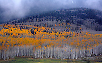 An aspen tree forest clashes with a pine tree forest in the Colorado Rocky Mountains during autumn.