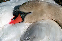 Mute Swan (Cygnus olor) sleeping with Head and Neck tucked into Body - Close Up Detail