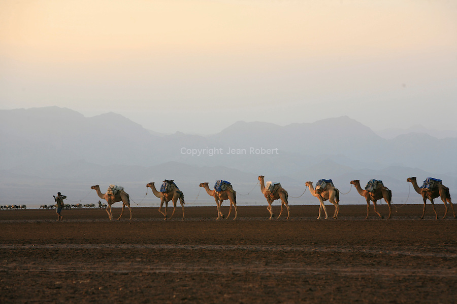 Thousands of camels linked nose-to-tail, point their noses and eyes to the northwest, where the highlands rose like a rumpled fortress on the horizon. Over there, far beyond Hamed Ela, is Berahile where the caravans unload their haul.