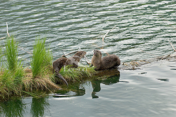 River Otters (Lontra canadensis)--I believe this was mating behavior.  They did not really fight but did a lot of growling and threatening behavior.  Western U.S., June.