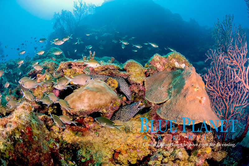 schooling brown chromis, Chromis multilineata, and two spotted moral eels, Gymnothorax moringa, St. Lucia, Caribbean, Atlantic
