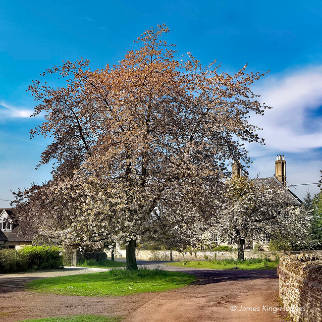Church Green, in the Oxfordshire village of Fyfield, which contains two large trees of Bird Cherry, or Prunus padus, which comes into blossom  around the beginning of May so is sometimes known as the Mayday tree