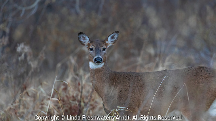 White-tailed doe standing in a field in northern Wisconsin.
