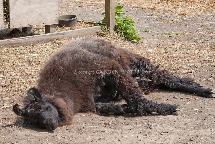 Llama mammal animal lying in sun on ground, with brown and black wool color