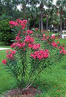Nerium oleander 'College Beauty'