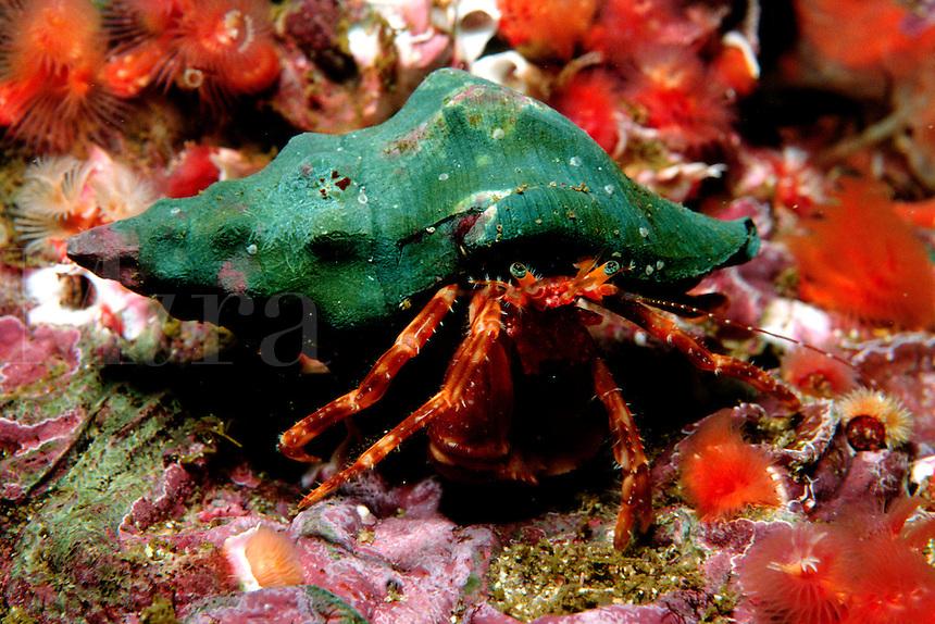Hermit crab, Phimochirus californiensis, is found in the kelp forest. California, Eastern Pacific Ocean