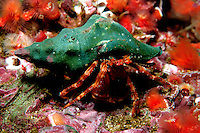 Hermit crab, Phimochirus californiensis, is found in the kelp forest. California, Eastern Pacific Ocean