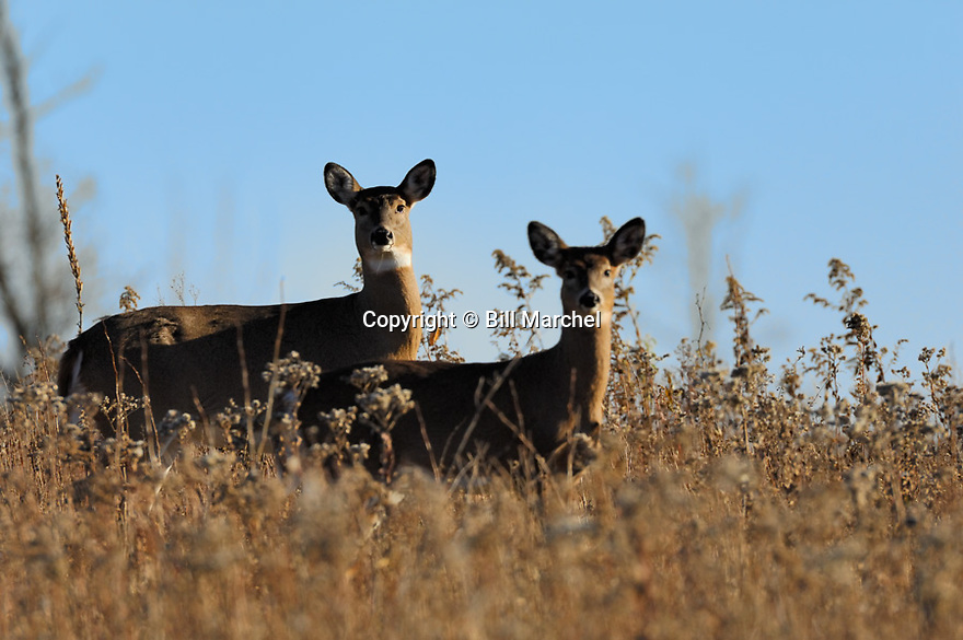 00275-195.19 White-tailed Deer (DIGITAL) doe and fawn pause  while feeding on goldenrod in meadow during fall.  Hunt, survive.  H3R1